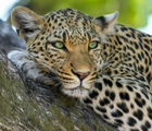 LWTL Tour to South Africa 2021 - 2 Test Tours leopard